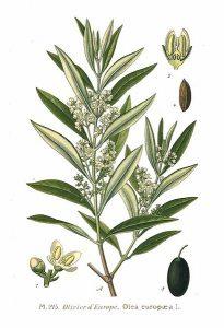 Lámina ilustrada de Olea europaea