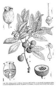 Lámina ilustrada de Arbutus unedo