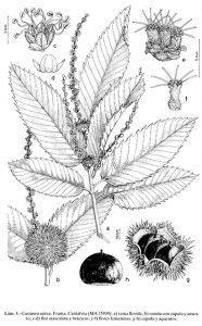 Lámina ilustrada de Castanea sativa