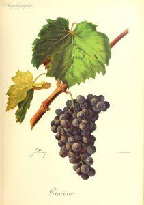 Ilustración de variedad graciano