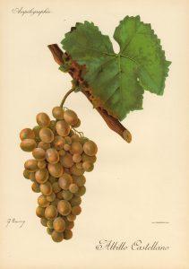 Ilustración variedad albillo castellano