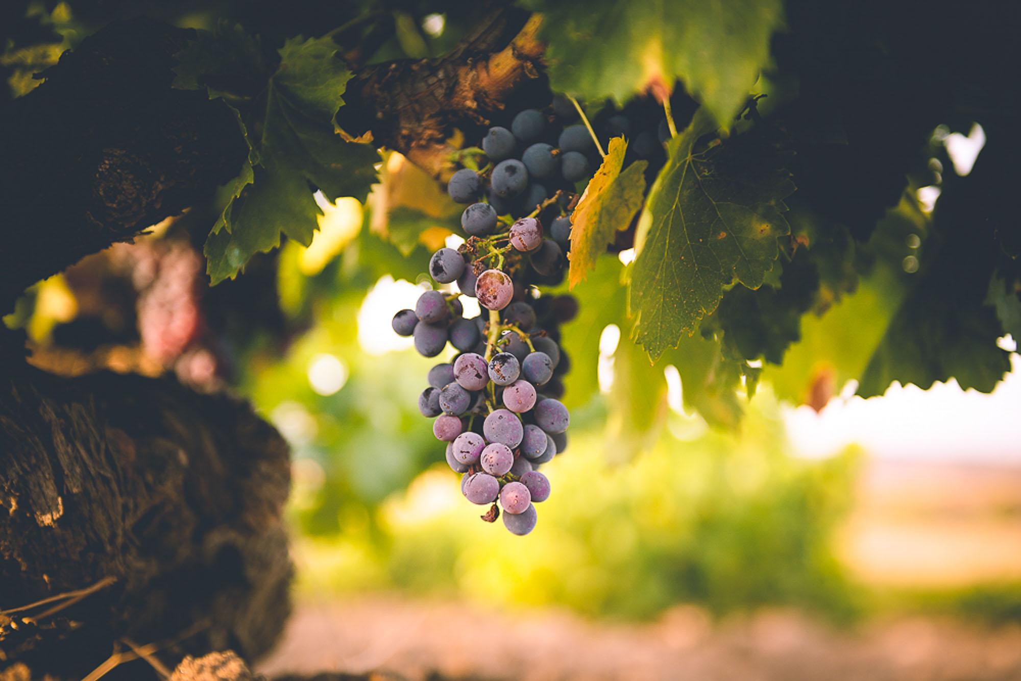 Imagen racimo uva garnacha
