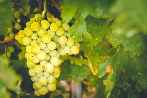 Imagen uva blanca