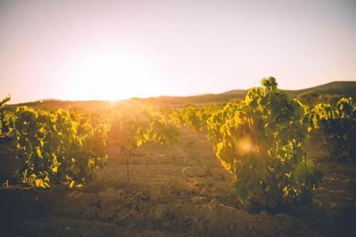 Imagen de atardecer entre viñedos