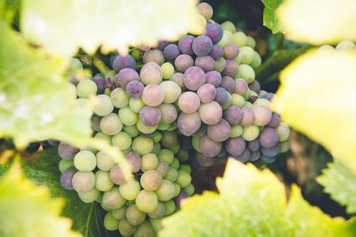 Imagen detalle de uva